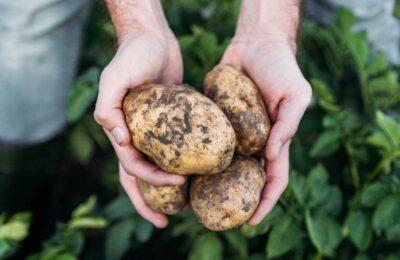 PRESERVING POTATO NUTRIENTS EVEN DURING PREPARATION